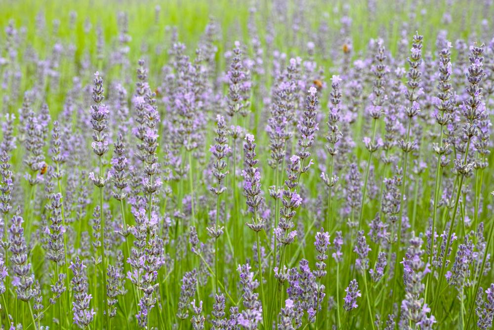 ラベンダーの季節 ~ゆいの花公園の夏~_c0223825_0253566.jpg