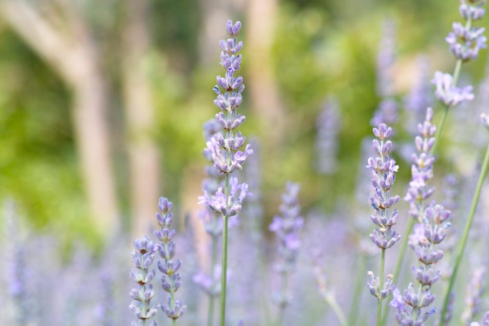 ラベンダーの季節 ~ゆいの花公園の夏~_c0223825_0285972.jpg