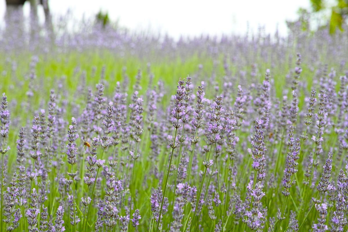 ラベンダーの季節 ~ゆいの花公園の夏~_c0223825_032329.jpg