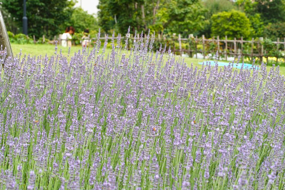 ラベンダーの季節 ~ゆいの花公園の夏~_c0223825_0351733.jpg