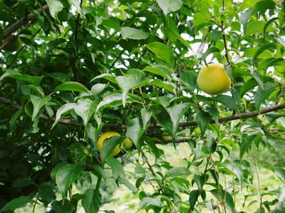 山あいの南高梅 完熟梅の出荷とお礼肥え_a0254656_17595095.jpg