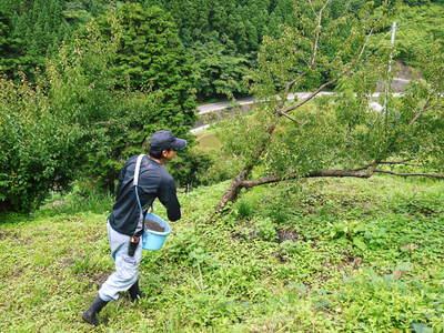 山あいの南高梅 完熟梅の出荷とお礼肥え_a0254656_18325242.jpg
