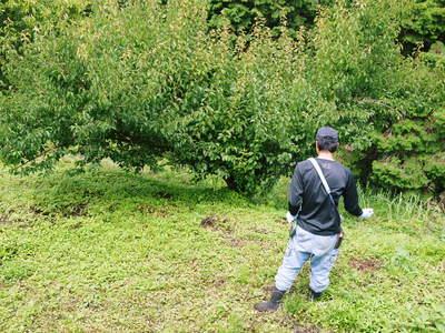 山あいの南高梅 完熟梅の出荷とお礼肥え_a0254656_18491513.jpg