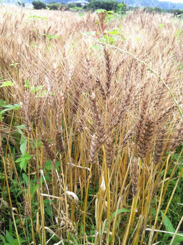 POCO A POCO農園さんで小麦刈り_a0004863_0164714.jpg