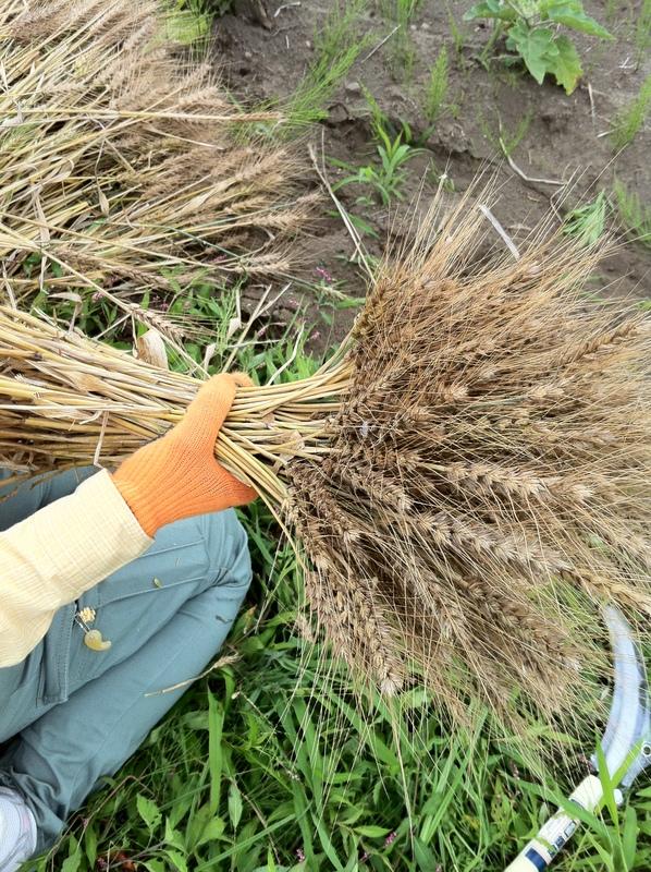 POCO A POCO農園さんで小麦刈り_a0004863_018284.jpg
