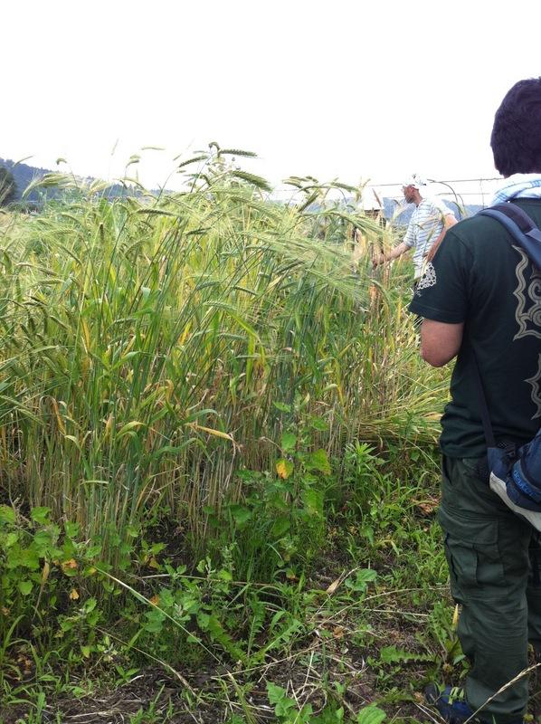 POCO A POCO農園さんで小麦刈り_a0004863_020206.jpg