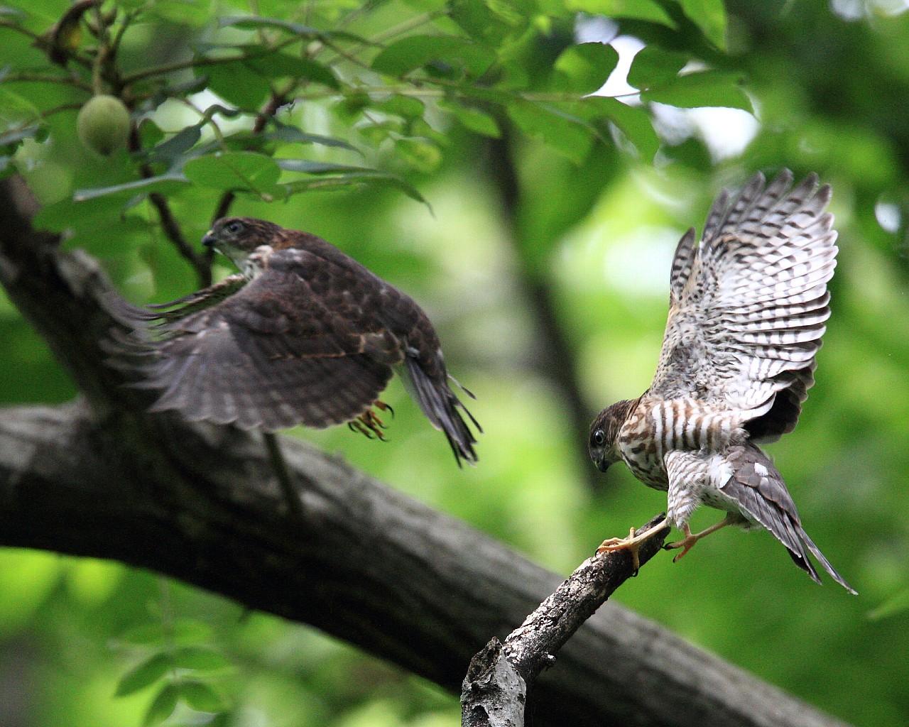 ツミ幼鳥が2羽で飛び回る_f0105570_21345436.jpg