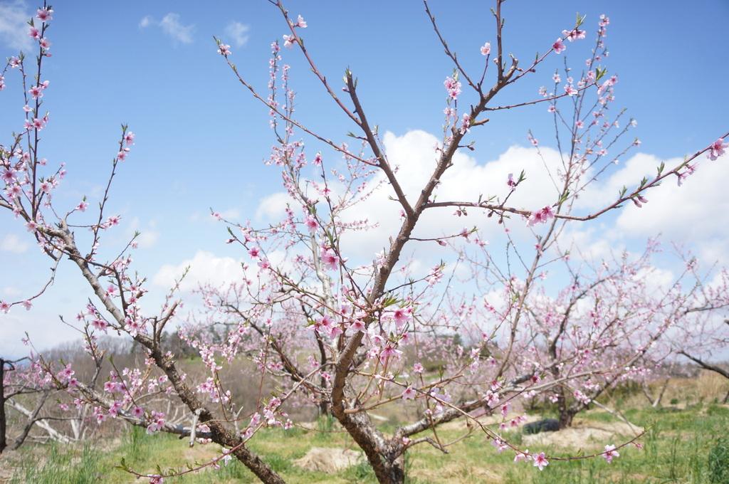 福島日記@ベルリンVol.3 桃の花とお好み焼き!_c0180686_22111297.jpg