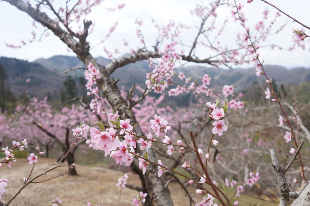 福島日記@ベルリンVol.3 桃の花とお好み焼き!_c0180686_22114550.jpg