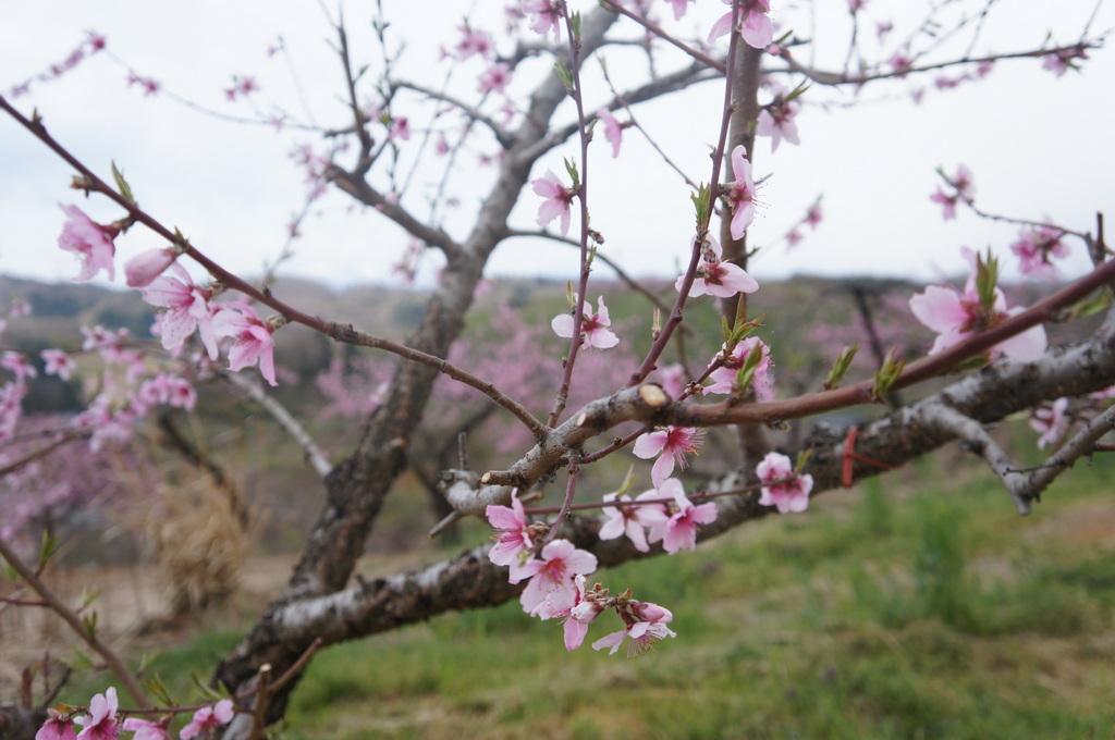 福島日記@ベルリンVol.3 桃の花とお好み焼き!_c0180686_2212727.jpg