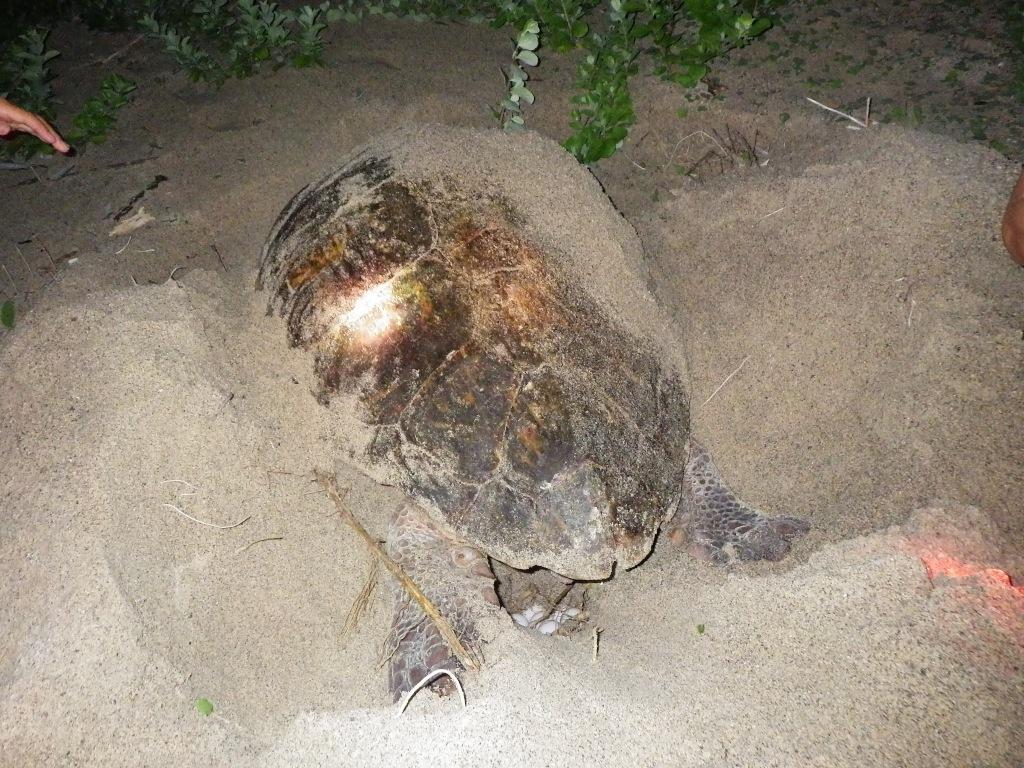 7/2 雑種ウミガメの産卵について_a0010095_1453145.jpg