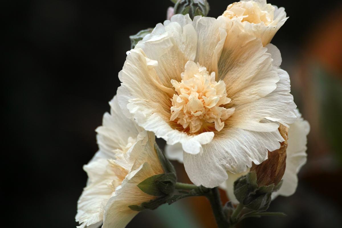タチアオイ、ヒメカンゾウ、ブルーサルビア、ペンタス、、、 ~初夏のゆいの花公園~_c0223825_0251100.jpg