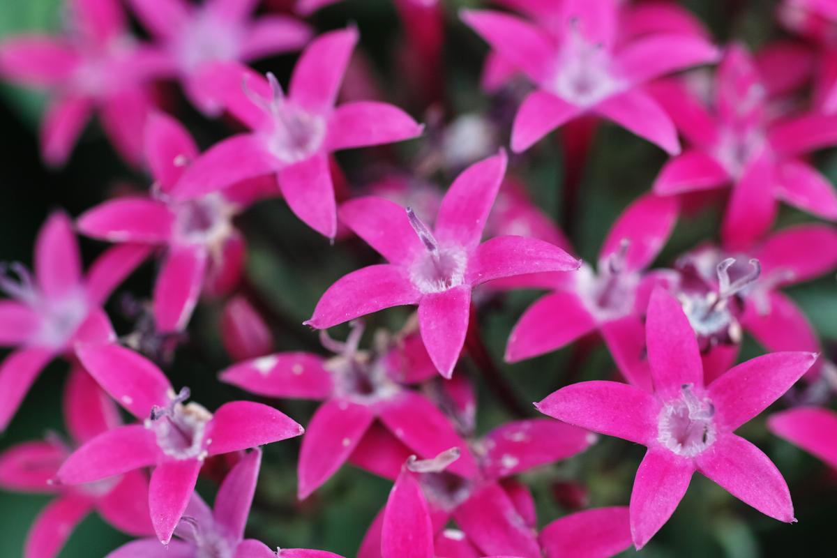 タチアオイ、ヒメカンゾウ、ブルーサルビア、ペンタス、、、 ~初夏のゆいの花公園~_c0223825_843844.jpg