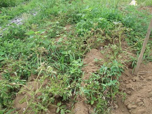 涼しいので,ジャガイモ掘りです..._b0137932_1534421.jpg