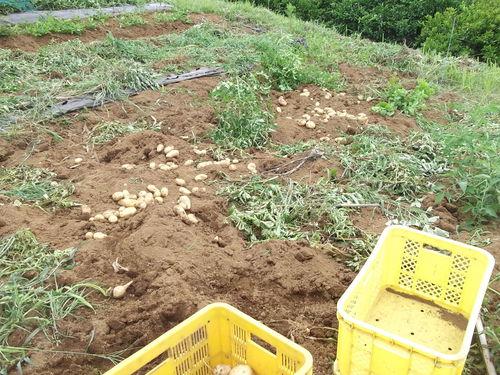涼しいので,ジャガイモ掘りです..._b0137932_15351067.jpg