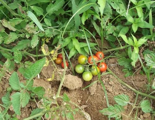 涼しいので,ジャガイモ掘りです..._b0137932_15373349.jpg