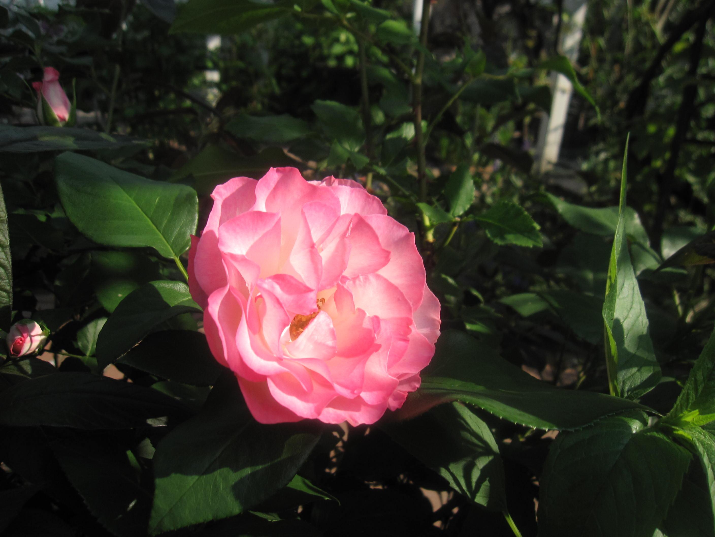 お庭が薔薇で綺麗になってきた~_a0279743_1052430.jpg