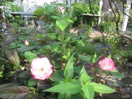 お庭が薔薇で綺麗になってきた~_a0279743_10525847.jpg