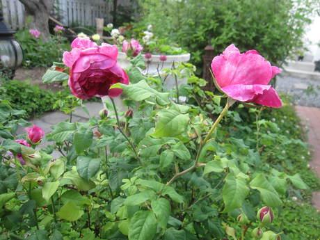 お庭が薔薇で綺麗になってきた~_a0279743_10562787.jpg