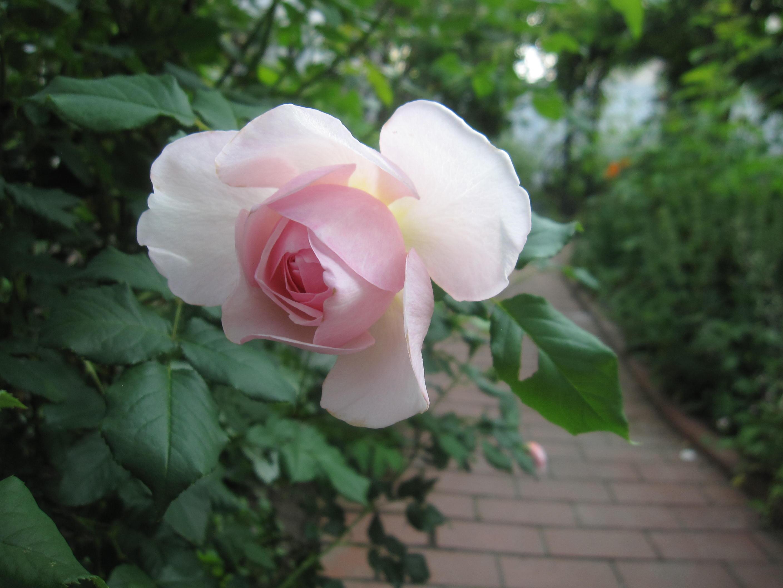 お庭が薔薇で綺麗になってきた~_a0279743_1112054.jpg