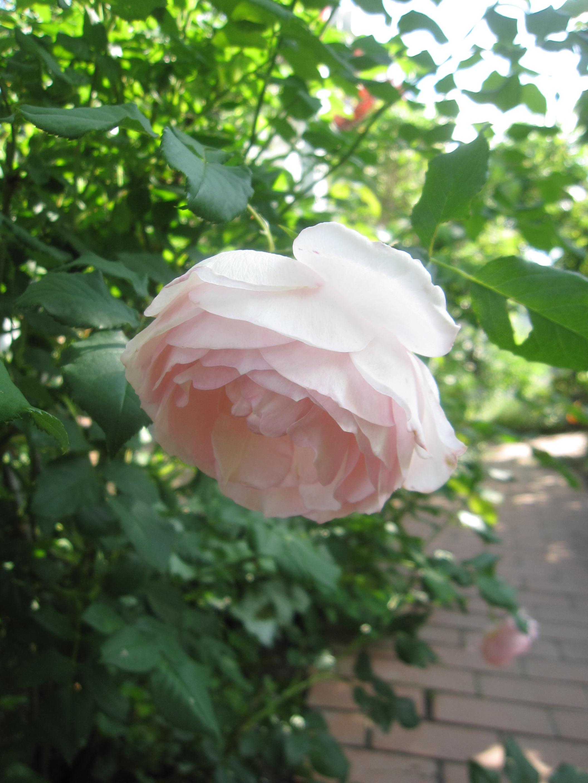 お庭が薔薇で綺麗になってきた~_a0279743_1114759.jpg