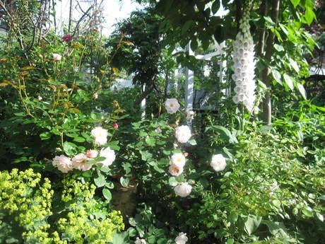 お庭が薔薇で綺麗になってきた~_a0279743_11165869.jpg