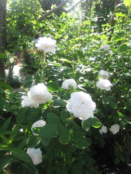 お庭が薔薇で綺麗になってきた~_a0279743_11174041.jpg
