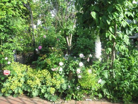 お庭が薔薇で綺麗になってきた~_a0279743_11225387.jpg