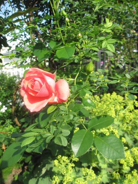 お庭が薔薇で綺麗になってきた~_a0279743_11243031.jpg