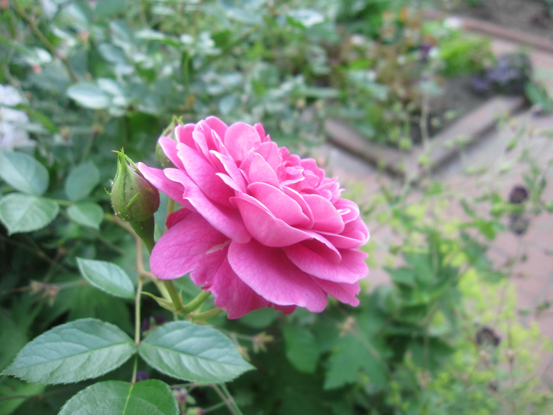 お庭が薔薇で綺麗になってきた~_a0279743_1125379.jpg