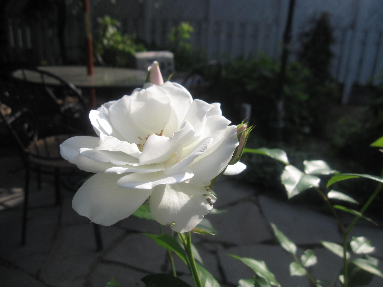 お庭が薔薇で綺麗になってきた~_a0279743_1154973.jpg