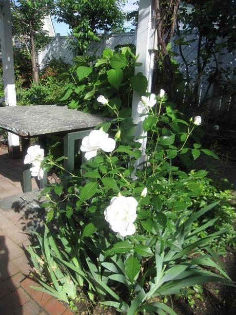 お庭が薔薇で綺麗になってきた~_a0279743_11651100.jpg