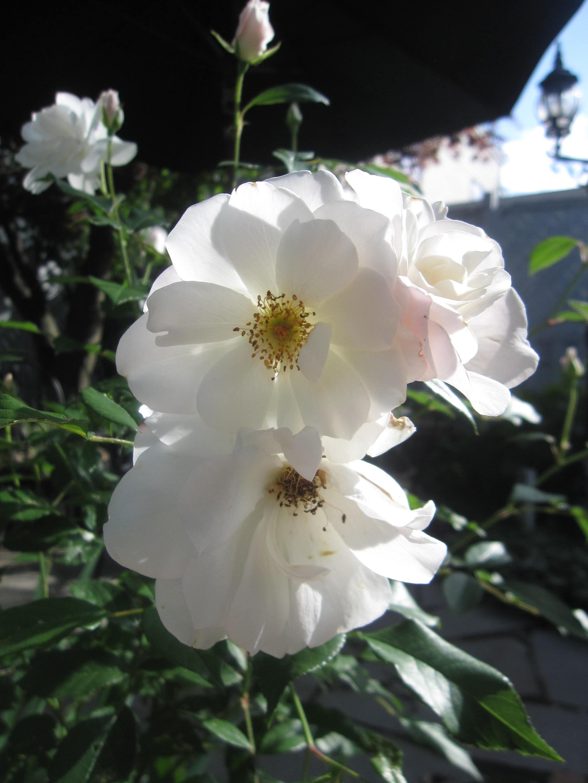 お庭が薔薇で綺麗になってきた~_a0279743_1171085.jpg