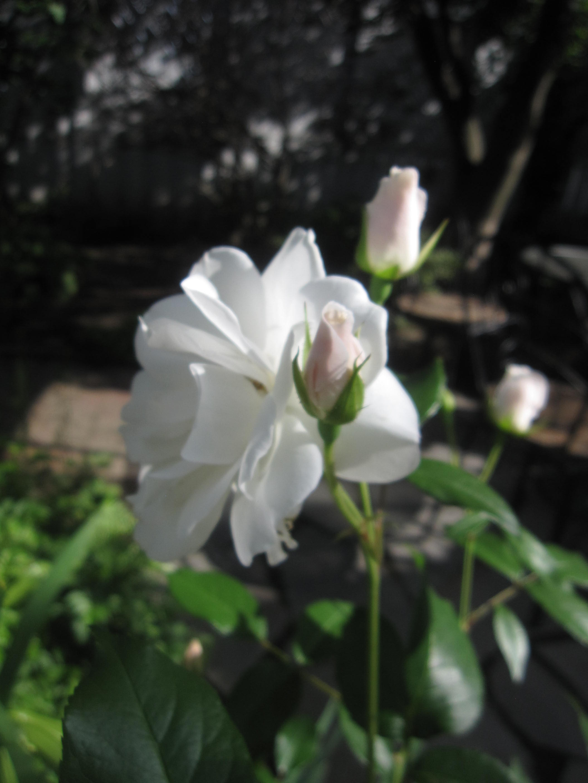 お庭が薔薇で綺麗になってきた~_a0279743_1173377.jpg