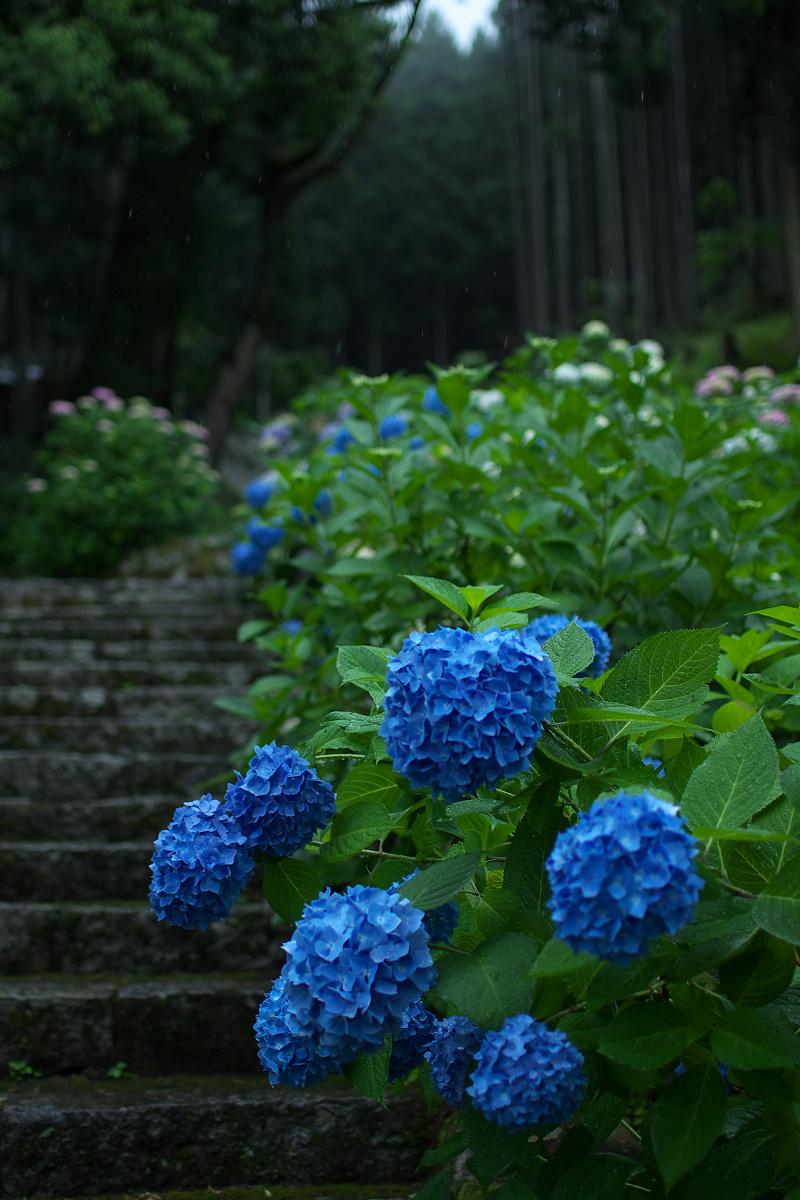 紫陽花 2013 <円満院>   _f0021869_23522342.jpg