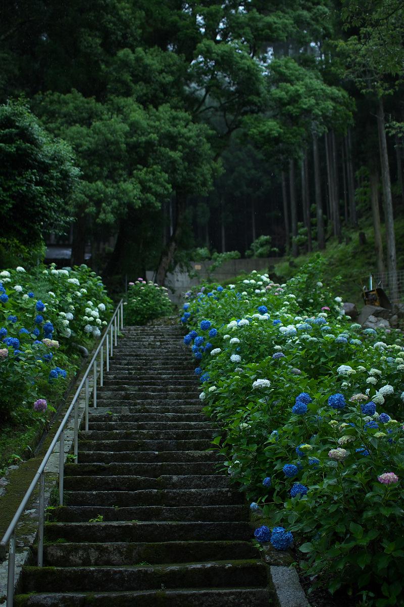 紫陽花 2013 <円満院>   _f0021869_23532894.jpg