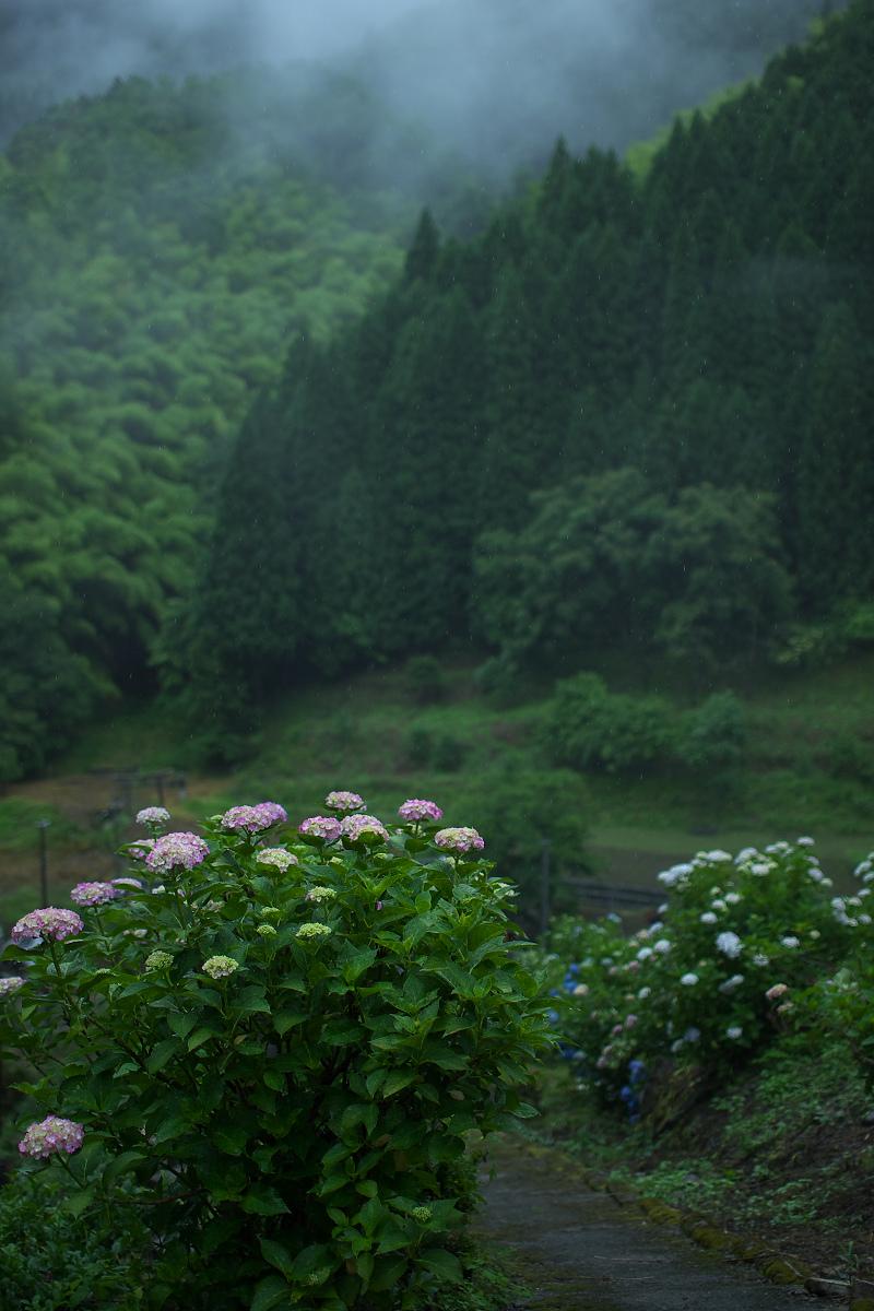 紫陽花 2013 <円満院>   _f0021869_23541390.jpg