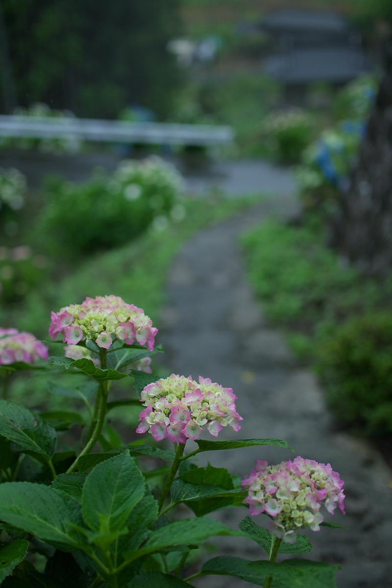 紫陽花 2013 <円満院>   _f0021869_23541684.jpg