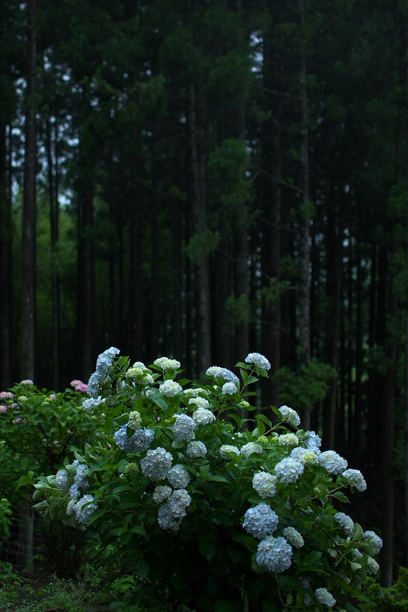紫陽花 2013 <円満院>   _f0021869_23545431.jpg