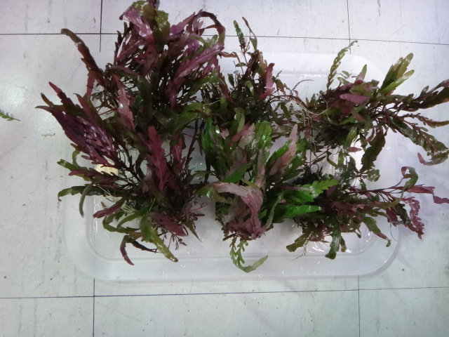130704 熱帯魚・侘び草・水草_f0189122_1322352.jpg