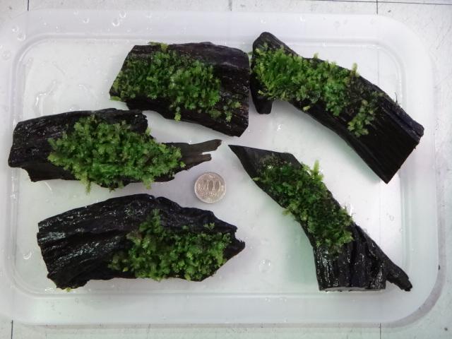 130704 熱帯魚・侘び草・水草_f0189122_13301154.jpg