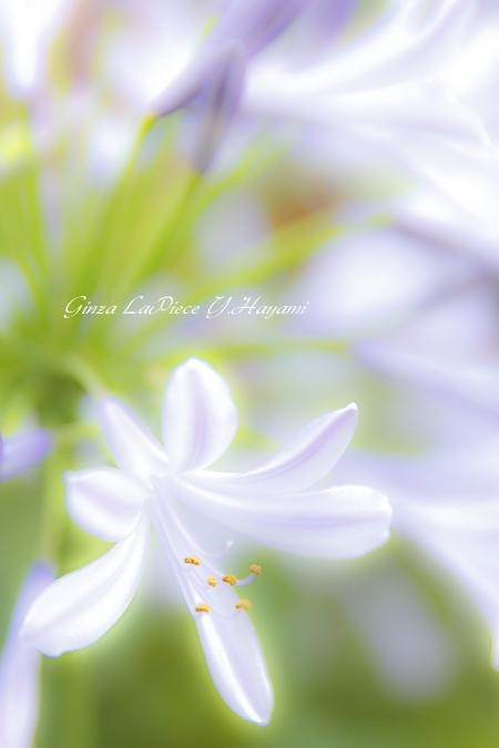花のある風景 街中のアガパンサス_b0133053_031826.jpg