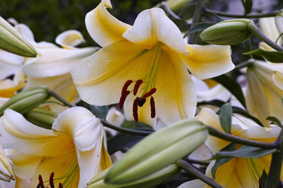 ゆいの花公園のユリが咲きました。_c0223825_7543715.jpg
