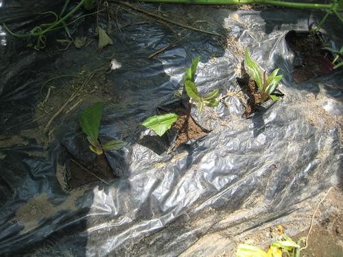 乾燥から一転、湿潤となり、生育がススム君_e0121558_23445731.jpg