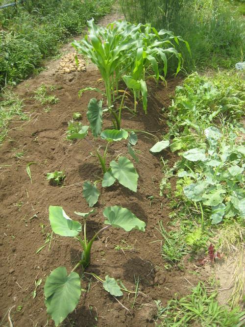 乾燥から一転、湿潤となり、生育がススム君_e0121558_2345127.jpg