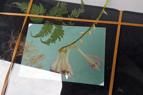 植物青写真 太陽の光でオリジナル手ぬぐいとポストカードを作ろう! サイアノタイプ_f0117059_2244192.jpg