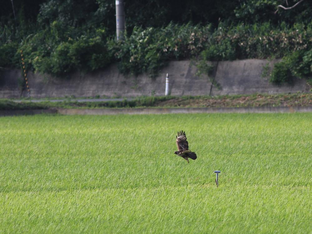 カバイロシジミ  津軽半島で観るのは難しい。  2013.6.29青森県④_a0146869_5105132.jpg