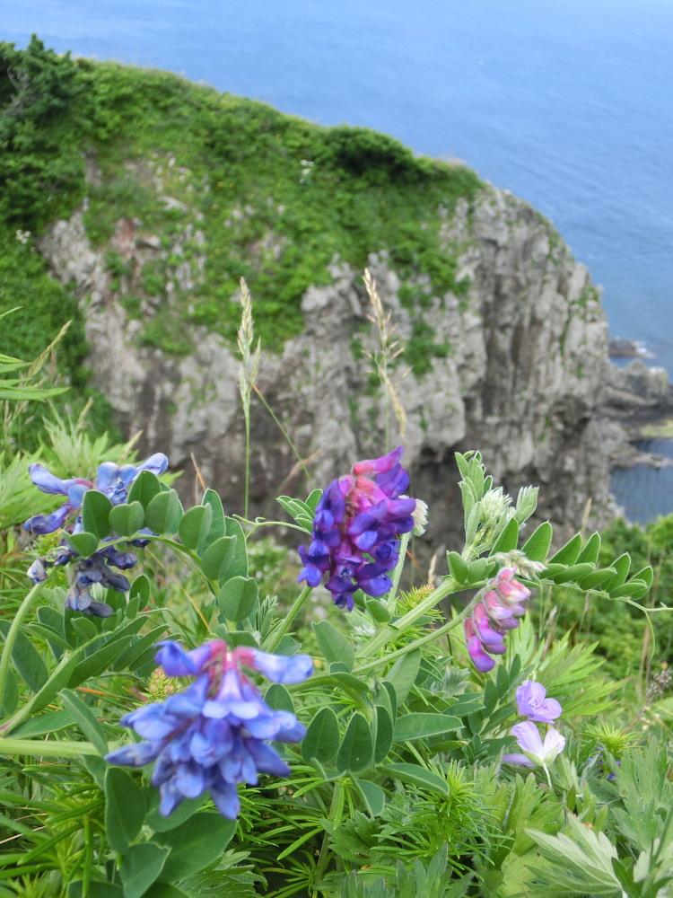 カバイロシジミ  津軽半島で観るのは難しい。  2013.6.29青森県④_a0146869_5204412.jpg