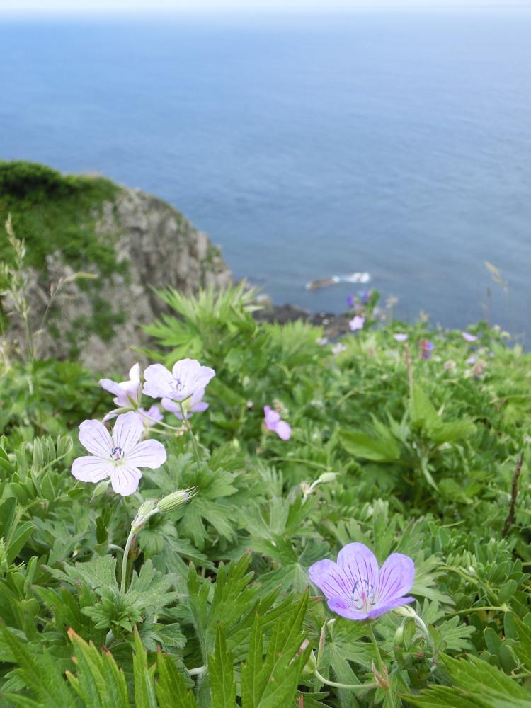 カバイロシジミ  津軽半島で観るのは難しい。  2013.6.29青森県④_a0146869_5205542.jpg