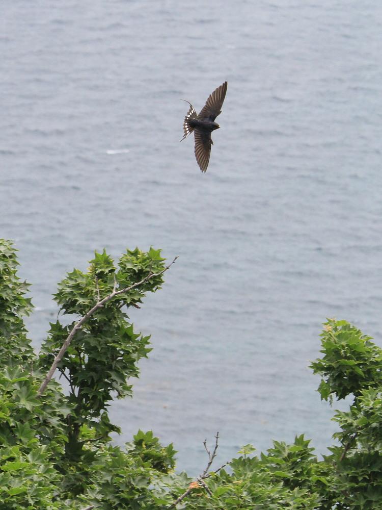 カバイロシジミ  津軽半島で観るのは難しい。  2013.6.29青森県④_a0146869_5222881.jpg